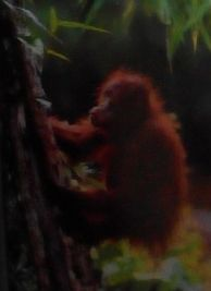 Orang Utan (sumber: buku Lonely Planet)