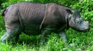 Badak Sumatera (sumber gambar: mongabay.co.id)