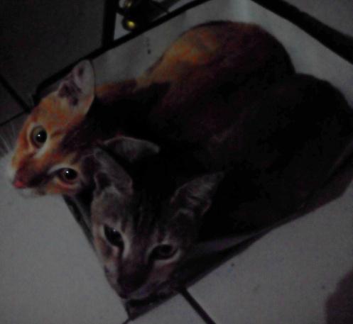 Kucing dan kardus