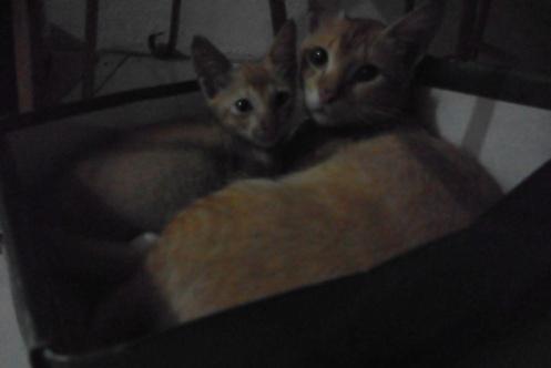 Dua kucing jantan dalam kardus