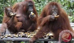 Orangutan Jumlahnya Semakin Menyusut (dok. antaranews)