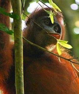 Orangutan di Taman Nasional Kutai (dok. wikipedia)