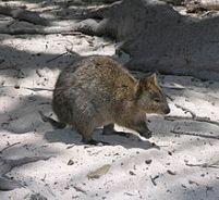 Quokka bisa dijumpai di Pulau Rottnest (gambar wikipedia)