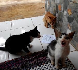 Kucing rumah petak